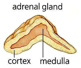 The adrenal glands are comprised of two sections, the cortex and the medulla