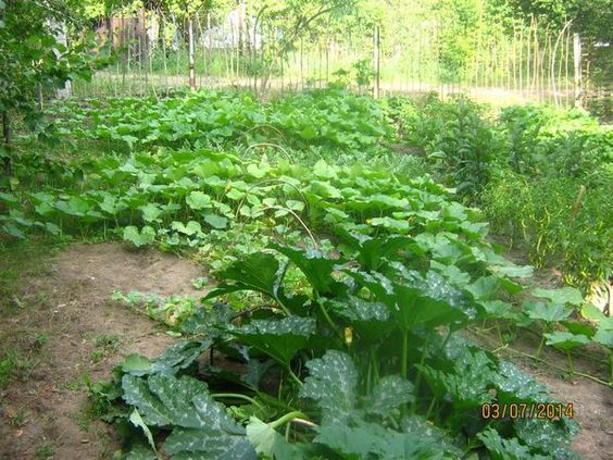 Мой метод выращивания бахчевых