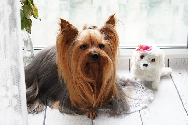 Best Dog Grooming In Perth Dog Breeds York Dog Yorkshire Terrier