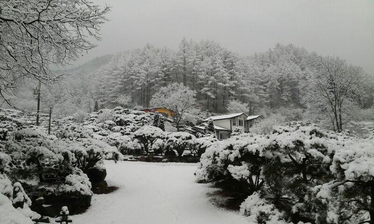소나무 청일면 횡성군 강원도 대한민국 kangwondo Korea