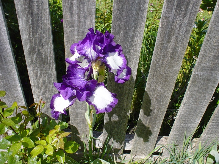 An iris framed by fence.