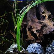 Giant Hairgrass, aquarium plants, live aquarium plants, aquarium plants for sale