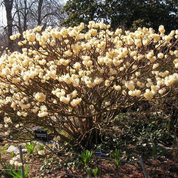 An 'Edgeworthia chrysantha' shrub. Planted one in front yard march 2016