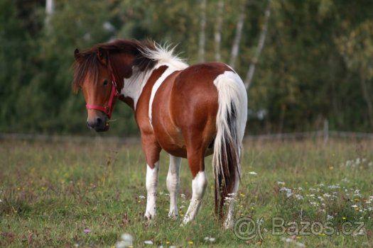 Buy pony gelding - 1