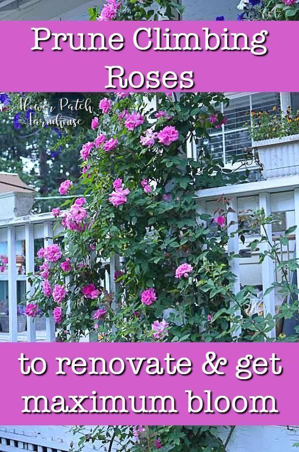 Prune Train Your Climbing Rose Climbing Roses Pruning Climbing Roses Climbing Roses Trellis