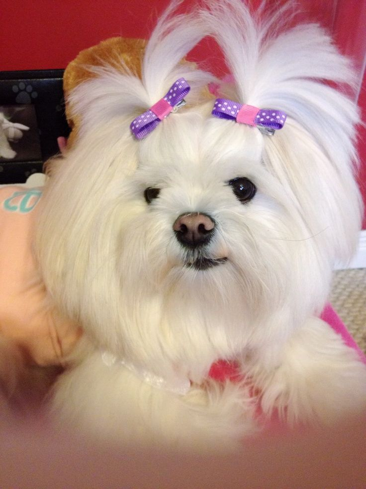 pomeranian mixes 1000 ideas about pomeranian mix on pinterest dogs for 7637