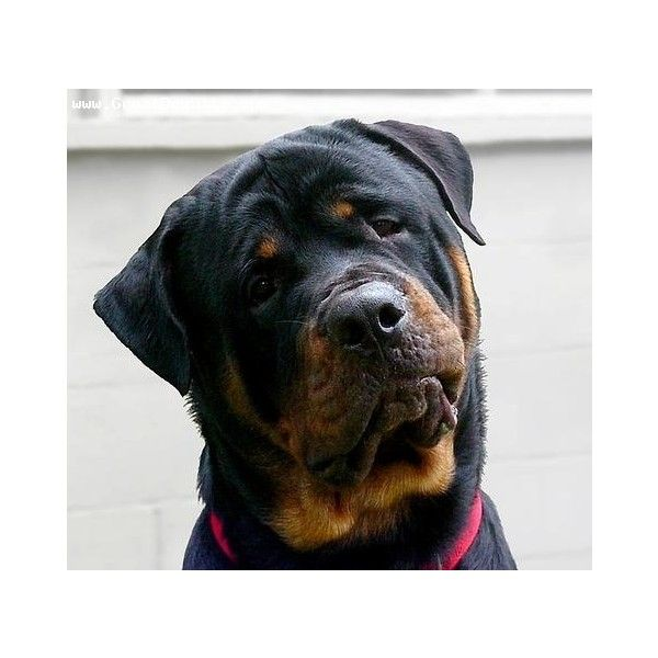 9 months old Roman Rottweiler Pictures black | GreatDogSite.com ❤ liked on Polyvore featuring dogs and animals