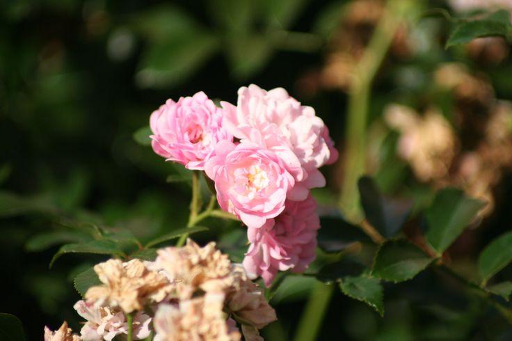 rose 39 the fairy 39 roses in our garden pinterest. Black Bedroom Furniture Sets. Home Design Ideas