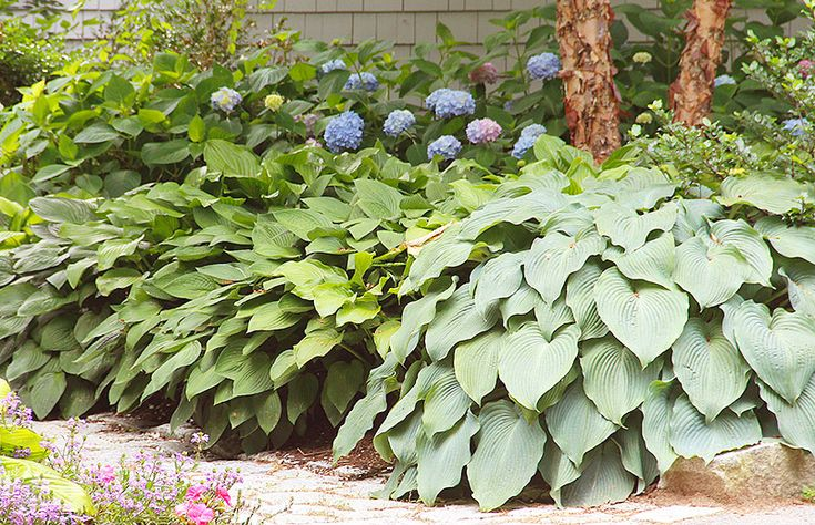 Hostas are the perfect plant to place along a shaded garden path.