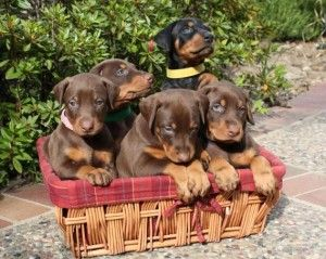 Cute Doberman Puppies | the black one in the back is a little harley pup :)