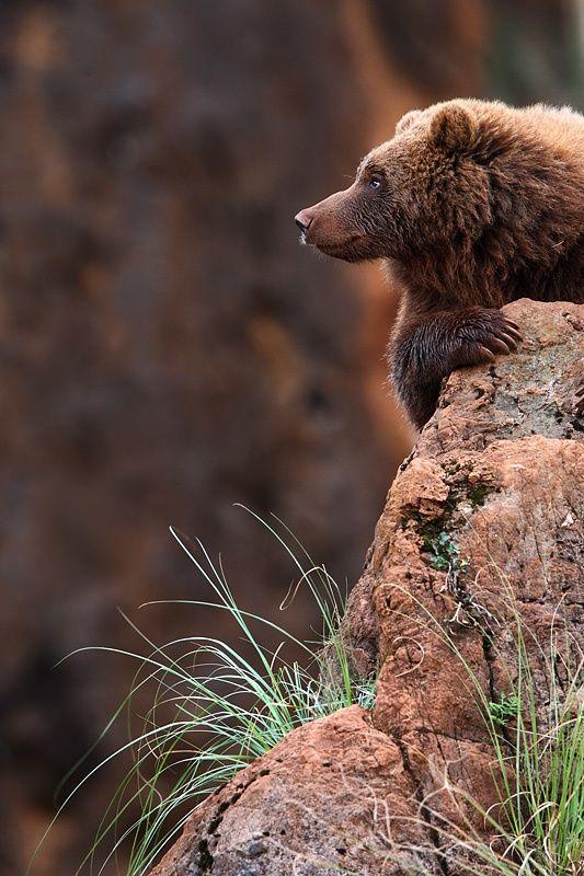 Bears in Spain