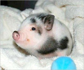 Potbelly Pig. I feel like (eventual) bunny is going to need a friend.