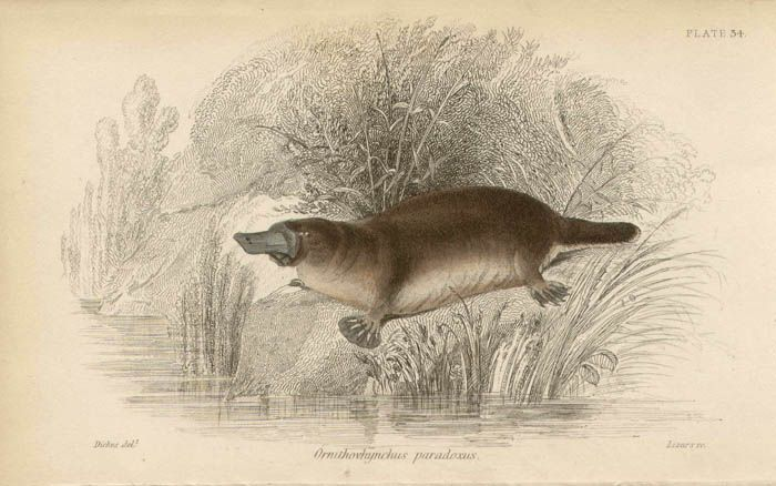 Platypus, Steel-engraving with original hand-colouring by Lizars, 1841.