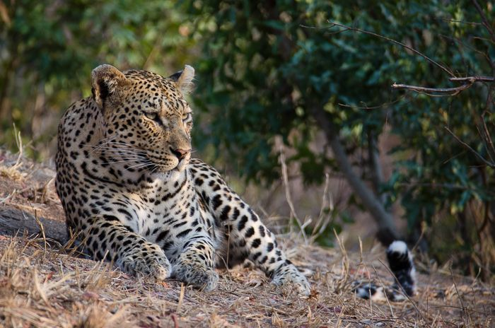 The Mashaba female rests up on a termite mound, scanning the surrounding bush in search of any food. With two extra stomachs to feed, hunting is vitally important for this beautiful leopard. Photograph by Kevin Power
