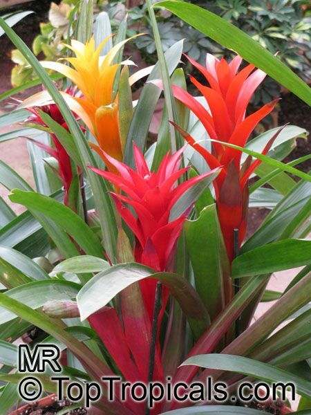 Gallery For > Guzmania Bromeliad Types