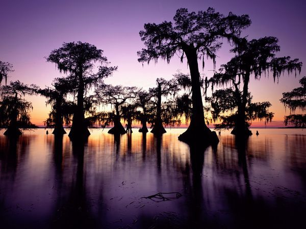 Bald cypresses, Louisiana's state tree, stand sentinel in a swamp colored by sunset.