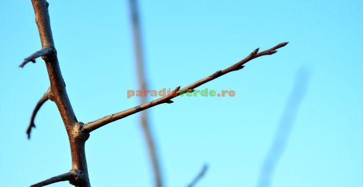 Iată care sunt ramurile florifere (de rod) la prun și cais   Paradis Verde