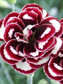Blogul Dianei: Legenda garoafei roz Dianthus