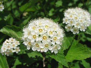 Spirée de Van Houtte : fleur