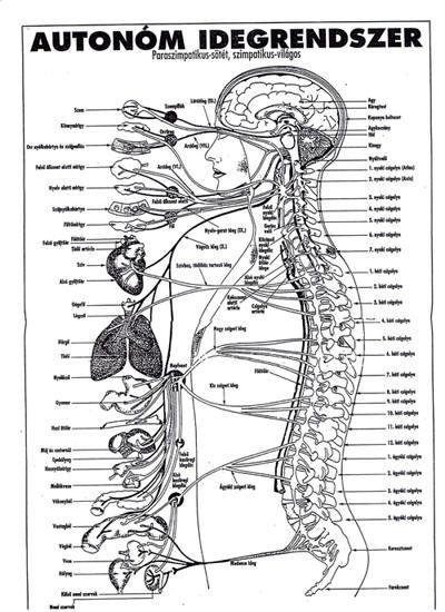 gerinc és belső szervek kapcsolata - Google keresés