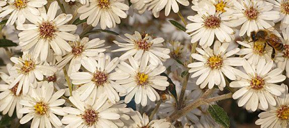 Dusty-Daisy Bush; Olearia phlogopappa -- an Australian Native plant