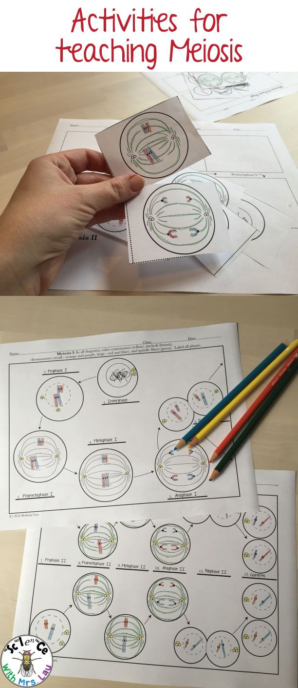 I use these coloring and cut and paste activities to help my students understand meiosis better better!  Teaching cell division can be challenging because of unclear diagrams.  These work great!