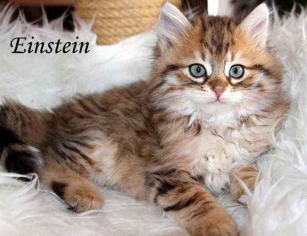 Sibirische Katzen-Spirit of New Heaven`s - Kindergarten
