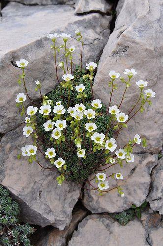 SAXIFRAGA CAESIA (Blaugrüner Steinbrech. Sassifraga verdazzurra. Saxifrage bleuatre. Sinjezeleni kamnokreč. Grey saxifrage). Saxifragaceae | by apollonio&battista