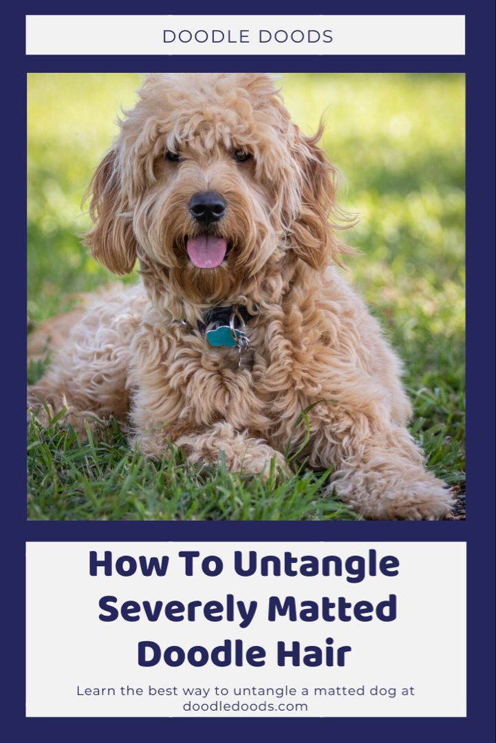 Ultimate Guide To Dealing With Matted Dog Hair On Your Doodle In 2020 Matted Dog Hair Dog Hair Potty Training Puppy