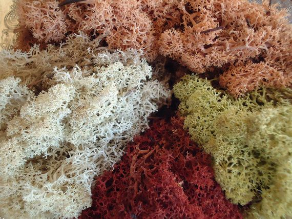 Preserved Reindeer Moss Lichen, So Colorful, Perfect Portion for Small Terrarium via Etsy