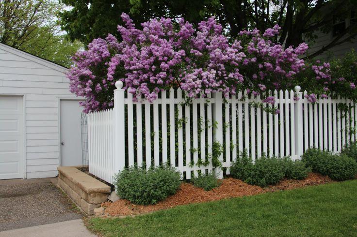 Lilacs On Fence Backyard Fences Fence Flowers