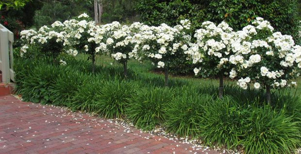 White rose standards, underplanted with liriope, line the brick path. Very formal.