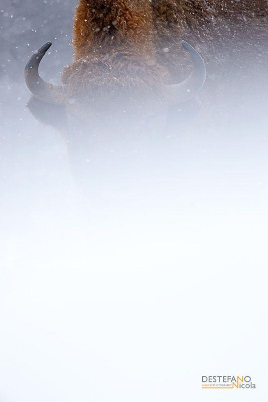 European Bison - European Bison (Bison bonasus)  Bialowieza NP, Poland
