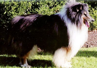 Collie-online: Pedigree database - Camanna The Copyist (Ch)