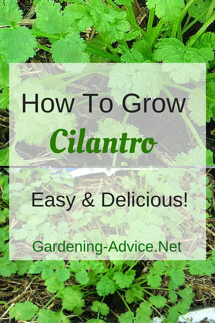 Cilantro is a great herb for containers or a window sill herb garden. You can of course also grow coriander in the ground. Just remember that is is a short lived culinary herb that needs to seeded in regular intervals to have an ongoing supply! But because it is so easy to grow this it not a big deal.