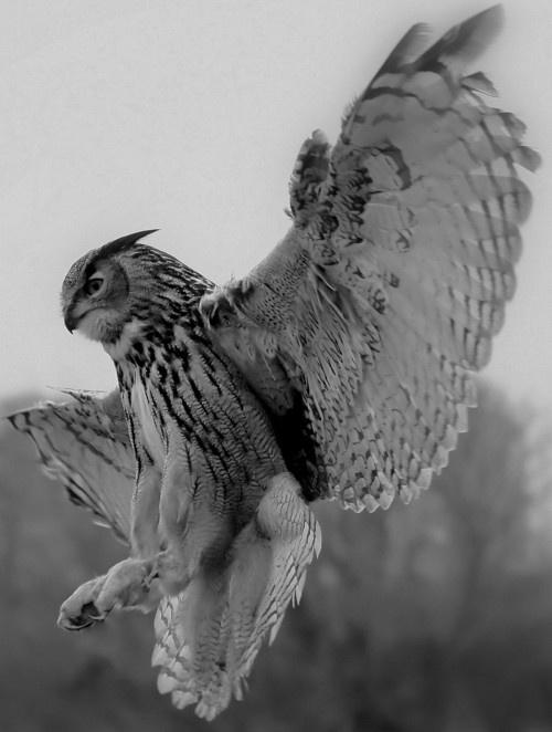 Swooping owl talon