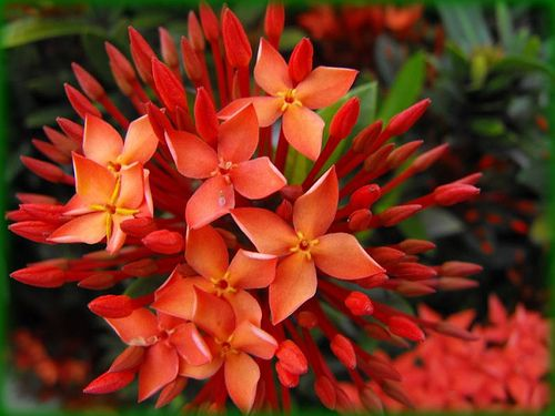 Ixora- West Indian Jasmine: Most Beauty Flower, West Indian, Ixora, Secret Gardens, Cactus Plants Flower, Bloom Beauty, Common Call, Flower That Bloom All Years, Yellow Flower