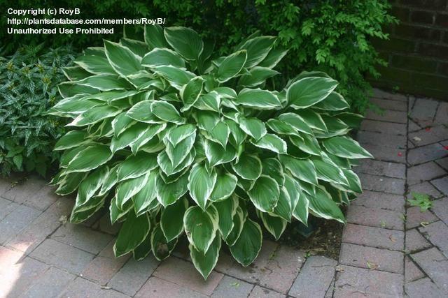 PlantFiles Pictures: Hosta, Siebold's Plantain Lily 'Variegata' (Hosta sieboldii) by RoyB