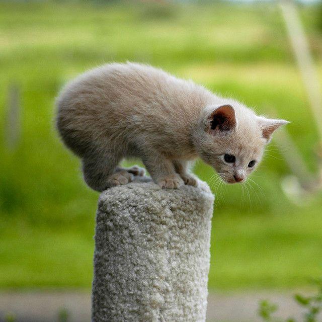 Manx kitten (sans tail).