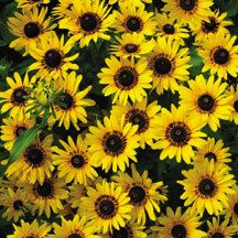 Denver Daisy Rudbeckia- Selected by the city of Denver for their 150th anniversary, city-wide beautification project. Free-flowering, sturdy plants loaded with bright bicolor blooms grow 18 to 24 inches tall.