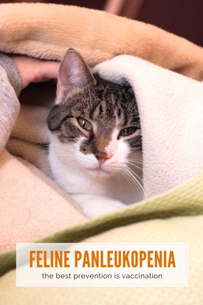 Understanding Feline Panleukopenia Pawesome Cats Feline Panleukopenia Feline Feline Distemper