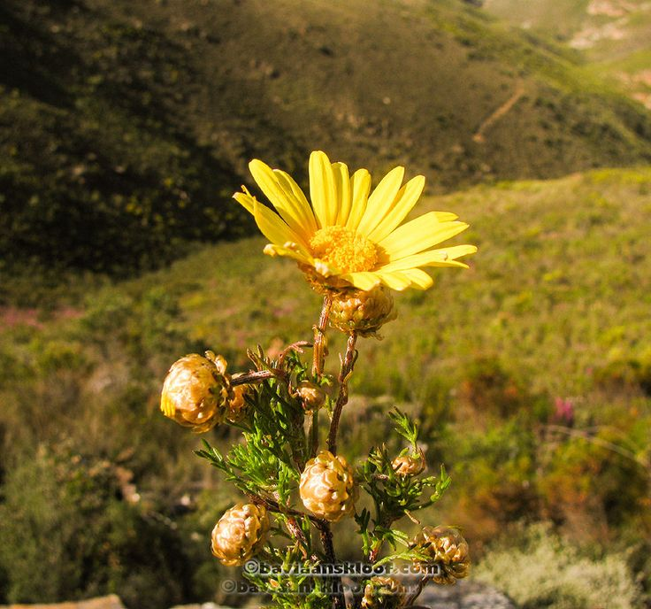 Ursinia chrysanthemoides  Wild Flowers of the Baviaanskloof, Eastern Cape, South Africa