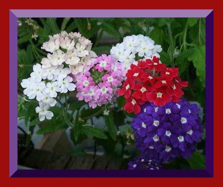 Verbena la pianta magica piante e fiori fiori e - Verbena pianta ...