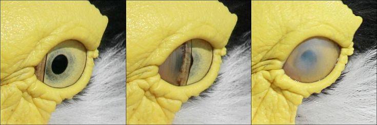 """Wikipedia:Featured pictures/Sciences/Biology - Wikipedia, the free GO ALCEDO: """"Se trata de la membrana nictitante o """"tercer párpado"""". Es una característica fisiológica propia de las aves (y otros animales), en un párpado accesorio transparente o translúcido.Al cerrarse, protege al globo ocular y lo humedece por debajo de los párpados principales, mientras se mantiene visibilidad. Algo muy útil cuando eres un ave buceadora o un halcón peregrino que se lanza a toda velocidad a por su presa."""""""