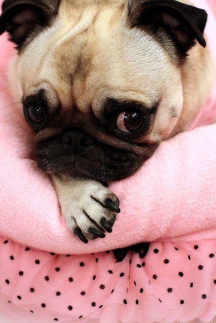 pink pug: Pug Life, Pets, Pugalicious, Pugs Pugs, Dog, Pink Pugs, Animal