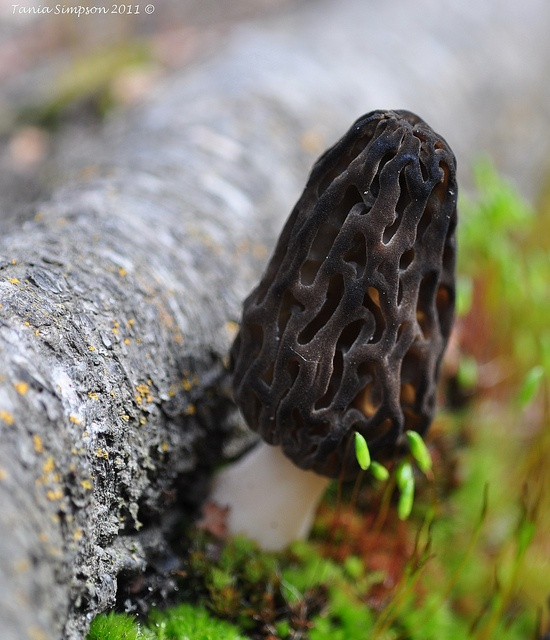 ... about Morels on Pinterest | Mushroom hunting, Mushrooms and Hunting