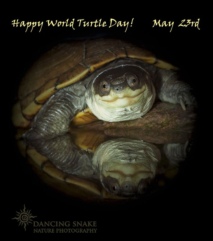 #Turtles, #World Turtle Day - ~Yellow Mud Turtle~ This day was founded by the American Tortoise Rescue in 2000. We love turtles here at Dancing Snake, and we are saddened that these beautiful animals are threatened by environmental change, habitat destruction, and predation by man. Today we celebrate these wonderful animals. Go hug a turtle! ©Dancing Snake Nature Photography