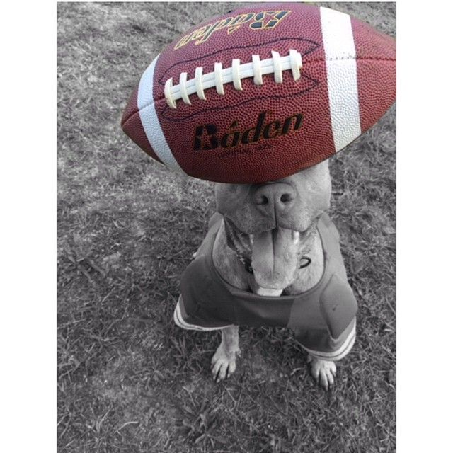 """""""Me and da Poukie are sad that da Bills lost in Londons so we hopes da Jets and Patriots lose to each other's today"""" ❤️✌️ #Tango #tangomunch #dontbullymybreed #pitbullsofinstagram #pitbulls #dogs #dogsofinstagram #pitbull #rednose #brindle #sundayfunday #nfl #footballsunday #instapit #ruffpost #armtheanimals #tangs #pitbullawarenessmonth #pitbullinstagram #endbsl #justiceforbullies"""