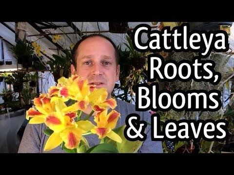 Rescue Cattleya Orchid Care / Cattleya Blooms/ How to regrow Orchid roots and Trim ugly leaves - YouTube