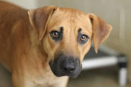 10/14/15-29881997 Dog • Black Mouth Cur • Adult • Male • Large Humane Society of Northeast Texas Longview, TX